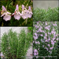 Rosemary Rosea Pink x 4 Herbs Scented Cottage Garden Groundcover Flowering Plants Shrubs Hedge Border Edible Hardy Rosmarinus officinalis