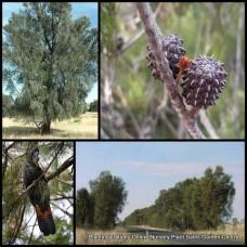 Bull Oak Tough Native Trees x 5 Plants Allocasuarina luehmannii She-Oak Native Trees Hardy Casuarina Buloke SheOak Flowering Bird attracting