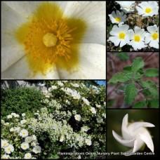 Cistus salviifolius x 4 Rock Rose Salvia Gallipoli White Hardy Flowering Garden Plants Shrubs Sageleaf Flowers Rockery Border