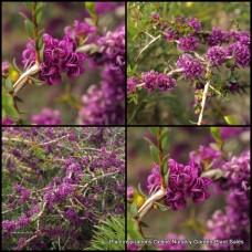 Melaleuca Violet Paperbark x 1 Australian Native Shrubs Bush Purple Flowering Hedge Bird Attracting Evergreen Hardy Drought Frost Tough violacea