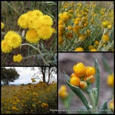 Yellow Buttons x 1 Common Everlasting Chrysocephalum apiculatum Hardy Native Plants Yellow Gold Flowering Garden Grass Shrubs