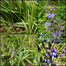 Dianella tasmanica Tasmanian Flax Lily x 1 Australian Native Grasses Border Shade Blue Flowering Berries Hardy Drought Frost