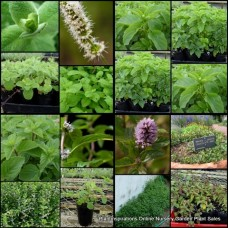 Mint Plants Mixed x 8 Random Pack 4 Types Herbs Groundcovers Hedge Pots Spreading Garden Apple Chocolate Basil Ginger Lemon Balm Spearmint Vietnamese Native Mentha