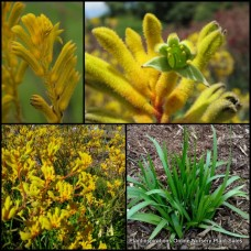 Kangaroo Paw Yellow Gem x 4 Plants Hardy Native Grasses Plants Anigozanthos Garden Grass Paws Strap Flowering Rockery Border
