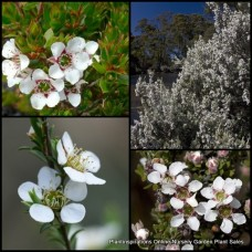 Leptospermum Woolly Silky Tea Tree x 5 Native Shrubs Plants White Flowering Hedge Pots Hardy Drought Frost Tough lanigerum Australian