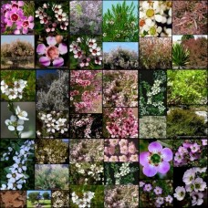 Leptospermum Mixed x 8 Tea Tree Random Pack 3 Types Australian Native Plants Shrubs Hedge Pots Flowering Hardy Drought Frost Tough