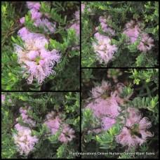 Melaleuca Pink Lace Thyme Honey Myrtle x 1 Australian Native Trees Shrubs Hedge Flowering Bottlebrush Garden Hardy Drought thymifolia