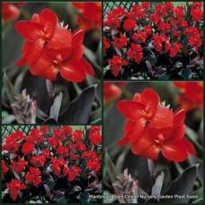 Canna Lily x 1 Dwarf Bronze Scarlet Lilies Garden Plants Tropical Red Flowers generalis Cottage Foliage
