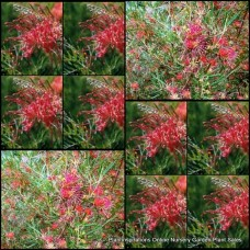 Grevillea Red Sunset x 1 Australian Native Garden Plants Shrubs Bush Hedge Gold Flowering Hardy Drought Frost Bird Attracting hybrid olivacea preissii