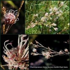 Grevillea Spindly x 1 Australian Native Garden Plants Shrubs Bush Trees White Pink Flowering Hardy Drought Frost Tough Bird Attracting Evergreen endlicheriana