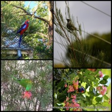 Bird Attracting Native Plants x 8 - Random Mixed Pack - 4 Types - Australian Trees Shrubs Flowering Garden Hardy Drought Tough
