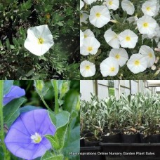 Convolvulus Mixed Pack x 8 Plants 2 Types Purple White Flowering Hardy Shrubs mauritanicus cneorum Silver Bush Groundcover