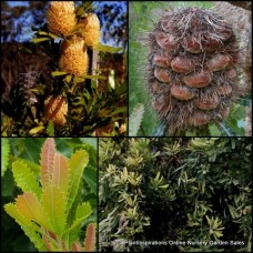 Banksia serrata x 1 - Old Man Banksia - Saw Tooth Banksia - Australian Native Plants Shrubs Trees Flower Cones Bird Attracting Hardy Drought Tough