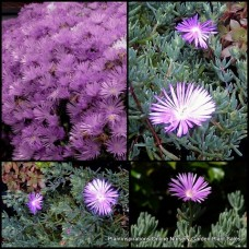 Pigface Mauve/Pink x 1 Succulents Groundcover Plants Flowering Hanging Baskets Rockery Pots Hardy Drought Frost Tough Evergreen Mesembryanthemum crystallinum