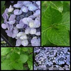 Hydrangea Blauling Blue x 1 Shade Flowering Plants Lacecap Hydranga macrophylla Cottage Garden Shrubs