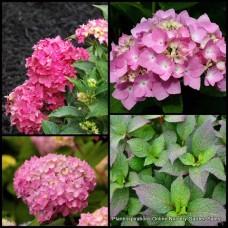 Hydrangea Dwarf Pink x 1 Pia Mia x 1 Flowering Shade Shrubs Plants Bush Cottage Garden macrophylla mophead Pot Deciduous Hardy