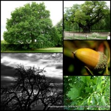 Oak Trees x 1 Plants Common English/German Oaks Quercus robur Pedunculate Hardy