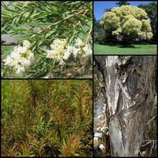 Melaleuca Snow In Summer x 1 Australian Native Trees Plants White Flowering Hedge Paperbark Hardy Drought linariifolia