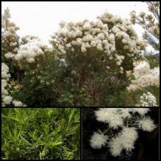 Melaleuca linariifolia Sea Foam x 5 White Flowering Shrubs Hardy Border Rockery Plants Hedge hedging Seafoam Tough