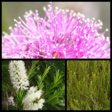 Melaleuca Pink Bracelet Honey Myrtle x 8 Australian Native Trees Shrubs Bush Flowering Bottlebrush Bird Attracting Hardy Drought Frost Tough armillaris