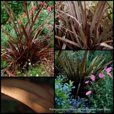 Phormium Bronze Baby x 1 Dwarf Flax Grasses Plants Strap Foliage Red Flowers New Zealand tenax purpurea nana