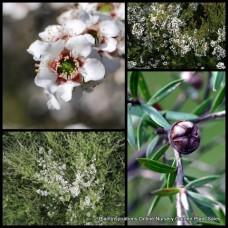 Leptospermum scoparium x 5 Manuka Tea Tree Shrubs Native Flowering Plants Bees Honey Medicinal Pollen Nectar Herbs Garden Hedge