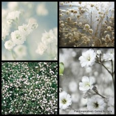 Gypsophila Baby's Breath x 1 Snowflake Plants Border Scented White Flowering Bouquets Pots Rockery Borders Groundcover Cottage Garden Hardy Drought Tough paniculata