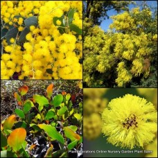 Acacia x 8 - Random Mixed Pack - 4 Types - Wattle Australian Native Flowering Trees Shrubs Fast Growing