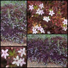 Myoporum Broad Leaf Purple x 5 Plants Hardy Groundcover Creeping Boobialla Flowering Shrubs parvifolium Dwarf Native Myrtle Drought Frost Rockery Pots