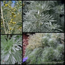 Wormwood x 1 Artemisia absinthium Fragrant Hedge Drought Hardy Herb Garden Absinthe Flowers Screening Hedging Border Plants