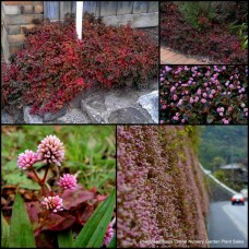 Persicaria capitata x 5 Plants Pink Bubble Red/purple/green Groundcover Hanging Basket Border Pinkhead Herbs Japanese Knotweed