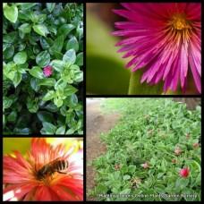 Aptenia cordifolia Baby Sun Rose x 1 Heartleaf Iceplant Groundcover Succulents Rockery Pots Hanging Baskets Pink Red Flowering Aizoaceae