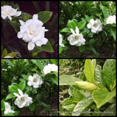 Gardenia magnifica x 5 Fragrant Scented White Double Flowering Cottage Garden Plants Shade Shrubs Hedge augusta Patio Balcony Pot