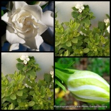 Gardenia Aimee Yoshiba x 5 Fragrant White Double Flowering Shade Shrubs Cottage Garden Hedge Pots augusta Patio Courtyard Balcony
