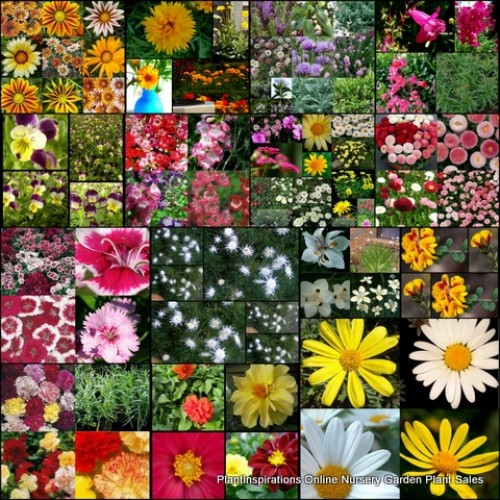 20 x Cottage Garden Plants 4 Types Random Mixed Pack Shrubs Potted Flowering Colour Groundcover Flowers Border Pots
