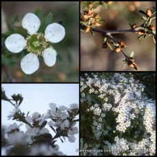 Leptospermum x 1 Silky Heath Tea Tree myrsinoides Australian Native Trees Shrubs Plants White Pink Flowering Hedge Bird Attracting Evergreen Hardy Drought Tough