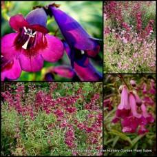 Penstemon Blackbird x 5 Plants Pink/purple Flowering Tubular Beard Tongue Cottage Garden Shrubs Flowers Hardy Border Pot