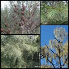 Casuarina obesa x 1 - Swamp Sheoak - Australian Native Trees Shrubs Plants Drooping Salt Tolerant River Hardy Drought Tough