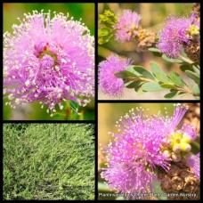 Melaleuca nesophila x 1 Pink/Purple Showy Honey Myrtle Native Shrubs/trees Plants Flowering Hardy Hedging