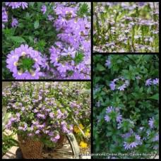 Scaevola Mauve Clusters x 1 Fairy Fan Flower Australian Native Groundcover Purple Flowering Rockery Pots Evergreen Hardy Drought aemula