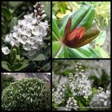 Hebe albicans x 8 Dwarf Hedge Shrubs Cottage Garden Plants White Flowering Pots Rockery Hardy Frost Veronica