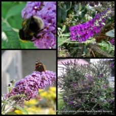 Buddleia davidii x 1 - Joan - Butterfly Bush - Summer Lilac - Scented Shrubs Plants Bush Mauve Flowers Bird Attracting Cottage Garden Hedge Rockery Hardy Tough