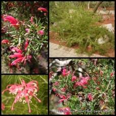Grevillea rosmarinifolia x 1 Rosemary Grevillea Spider Flower Pink Red flowering  Hardy Native Plants Shrubs