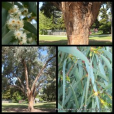 Eucalyptus nicholii x 8 - Narrow-Leaved Black Peppermint Gum - Willow Peppermint Scented Gum Trees - Australian Native Plants Weeping Cream White Flowering Bird Attracting Evergreen Hardy Drought Frost Tough