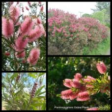 Bottlebrush Injune x 1 Pink Weeping Hardy Flowering Hardy Native Plants Trees Shrubs Bush Hedge Callistemon quercinus