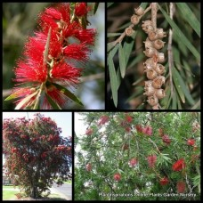 Bottlebrush Callistemon Weeping Red viminalis x 1 Flowering Scarlet Native Plants Hardy Bottle Brush Shrubs Trees
