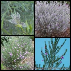 Eremophila Emu Bush Hybrid Silver x 5 Australian Native Shrubs Plants Rockery Cottage Garden Flowering Hardy Drought Frost maculata x viscida