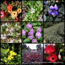 Groundcover Mixed x 20 Random Pack Flowering Cottage Garden Spreading Shrubs Plants Evergreen Pots Hardy Drought Frost Tough