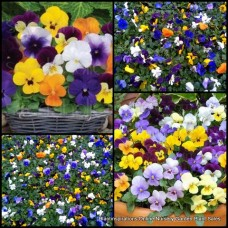 Viola plants x 15 Sorbet XP Select Mixed Flowering colors Horned Violet Edible Frost shade Horned Violet cornuta