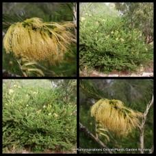 One Sided Bottlebrush x 1 aurea Yellow Calothamnus quadrifidus flowering Native Plants Bush Hedging Hardy Drought Garden